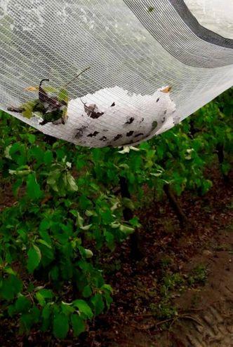 Chicchi di grandine come albicocche (foto Ravaglia)