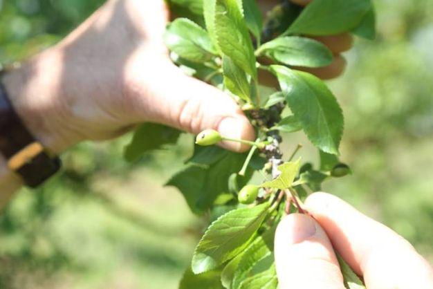 Il maltempo ha provocato gravi danni soprattutto ai frutteti (foto Ravaglia)