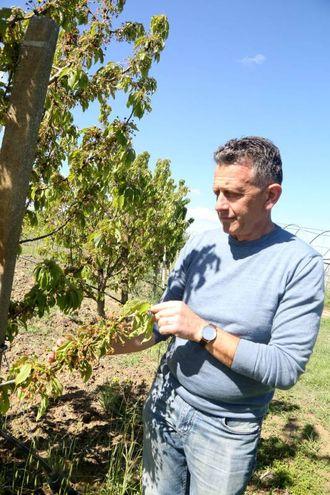 Claudio Bartolini osserva i danni agli alberi da frutto (foto Ravaglia)