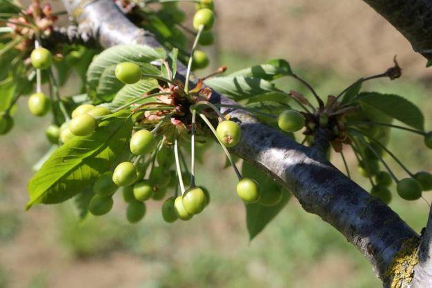 Problemi agli alberi da frutto che si trovano in piena fioritura (foto Ravaglia)