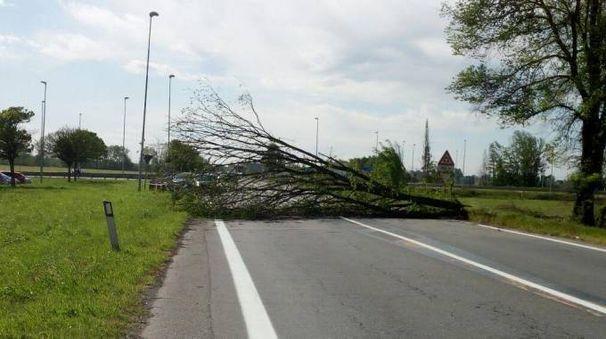La pianta caduta a causa del forte vento a Tavazzano