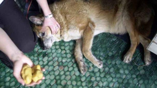 Un cane e le polpette avvelenate