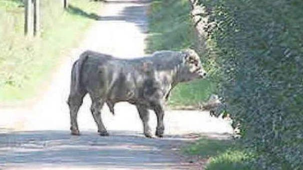 Un toro su una strada di campagna