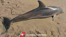Il delfino trovato morto in spiagga a Porto Sant'Elpidio