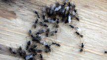 Le formiche sono visitatrici abituali delle case