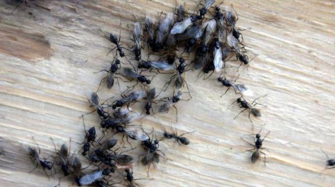 Bologna formiche in casa ecco le cause e i rimedi cronaca - Formiche in casa ...