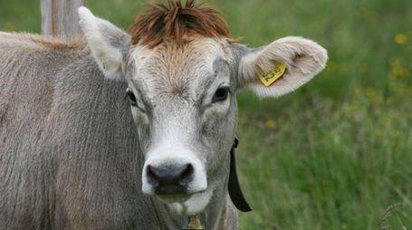 Mucca in una foto L.Gallitto