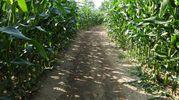 Il labirinto si estende su una superficie di 7 ettari (Foto Scardovi)