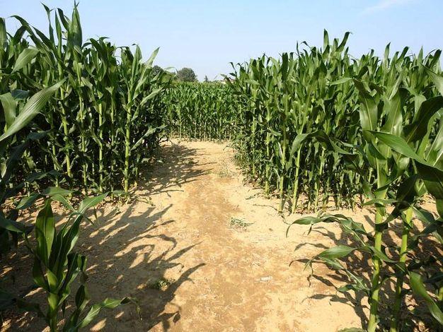 Il labirinto resterà aperto fino a metà settembre (Foto Scardovi)