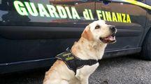 A scoprire il doppiofondo è stato Cal, il cane antidroga della Finanza