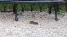 Un grosso topo fotografato in piazza Cavour