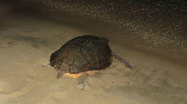 Lo scorso 20 giugno la tartaruga aveva deposto le uova nella spiaggia di Marina di Campo