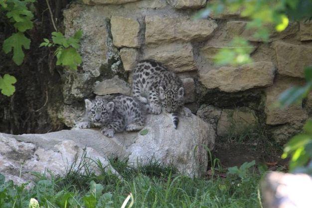 Arman e Neko, i cuccioli di leopardo delle nevi nati al Parco faunistico Le Cornelle (Foto del Parco faunistico Le Cornelle)