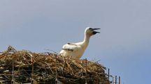 Il pulcino di cicogna bianca