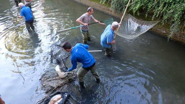 L'intervento nel canale di San Varano, dove i pesci arrivano dal Montone attraverso la chiusa di Ladino (Frasca)