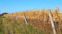Campo di grano. Foto jbdeboer via Pixabay