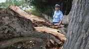 Il grande pioppo abbattuto dal maltempo (foto Ravaglia)