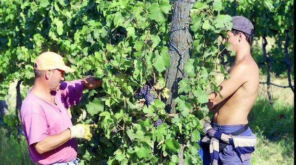 Le uve precoci sono già state raccolte