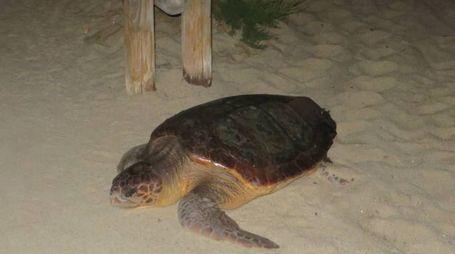Tartaruga sulla spiaggia dell'Elba