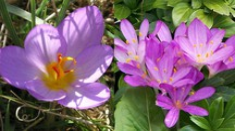 Zafferano (fiore) a sinistra e il colchico autunnale (a destra)