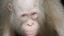 Alba, l'orango albino salvato in INdonesia - foto BOS