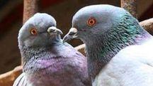 Tanti i piccioni    in via Pomeria.  E le polemiche non mancano