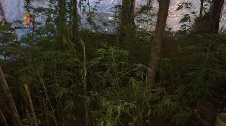 La serra di piante di marijuana