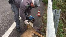 Un agente della polizia provinciale con la lupa ferita a morte