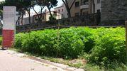 """Il labirinto di canapa ai suoi """"verdi"""" giorni (Foto Marco Botti)"""