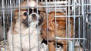Cuccioli sequestrati in una foto di repertorio (Dire)