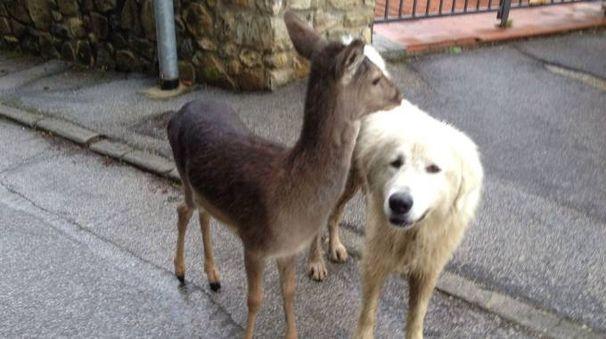 Il pastore maremmano con il suo amico daino