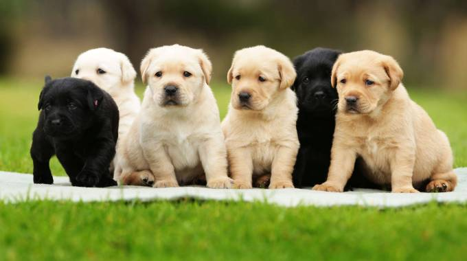 Cuccioli di Labrador in una foto d'archivio Olycom
