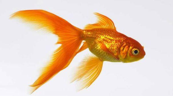 Pesce rosso una specie aliena e pericolosa per i fiumi for Dove comprare pesci rossi