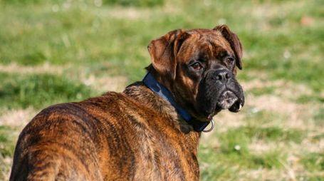 Il cane ritrovato era simile a un boxer