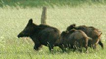 Cinghiali in campagna
