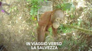 Orangotango in viaggio verso la libertà