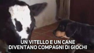 La strana amicizia tra un cane e una mucca