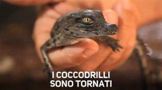 Il miracoloso ritorno dei cuccioli di coccodrillo