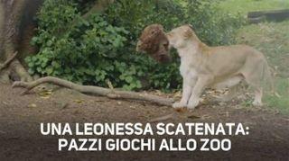I leoni sono solo dei grandi gatti e questa è la prova