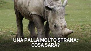 Rinoceronte in crisi: un oggetto misterioso lo stuzzica