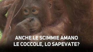 Abbracci tra oranghi: uno spettacolo!