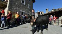 Mucche a Cogne