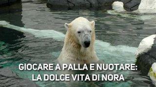 Nora, adorabile orsetta polare alle prese con l'acqua