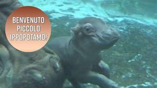 Baby ippopotamo allo Zoo di San Diego