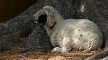 Pecora in una foto L.Gallitto