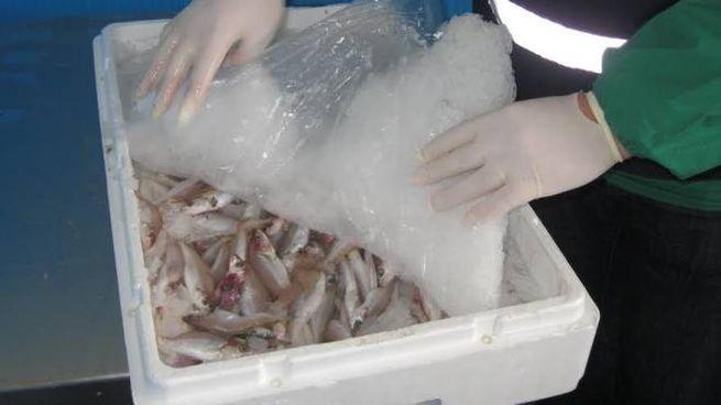 Pesce sequestrato (Immagine d'archivio)