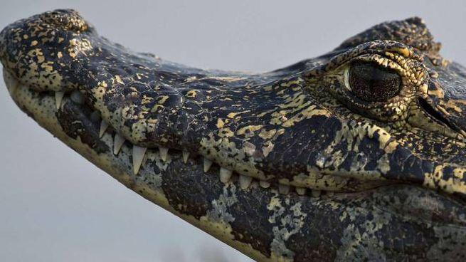 Un caimano in una foto d'archivio (Afp)