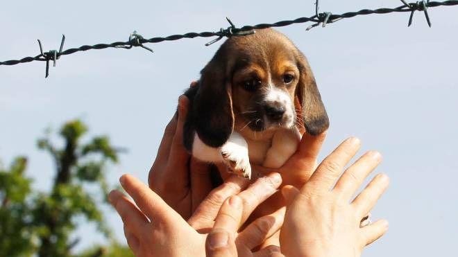 Uno dei cuccioli liberati dall'allevamento (Fotolive)