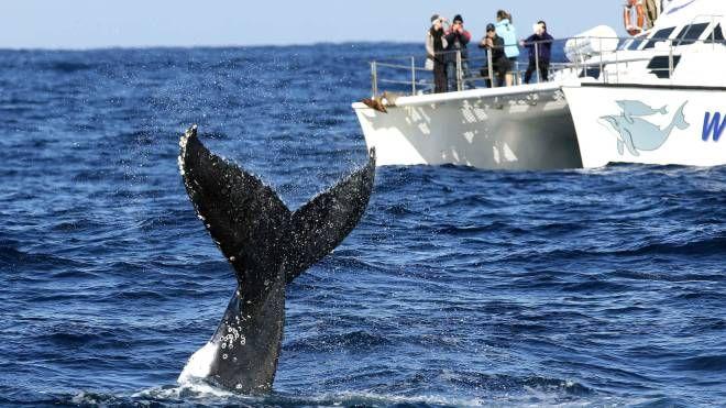 La meraviglia dell'incontro con la balena (Olycom)