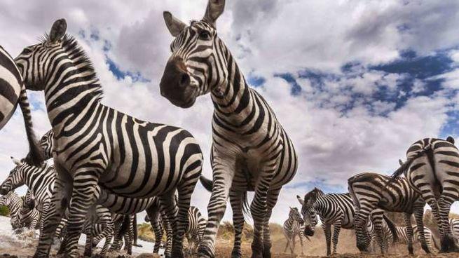Zebre in una foto Olycom